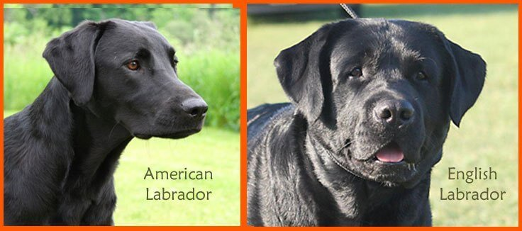 image comparing american and english labradors