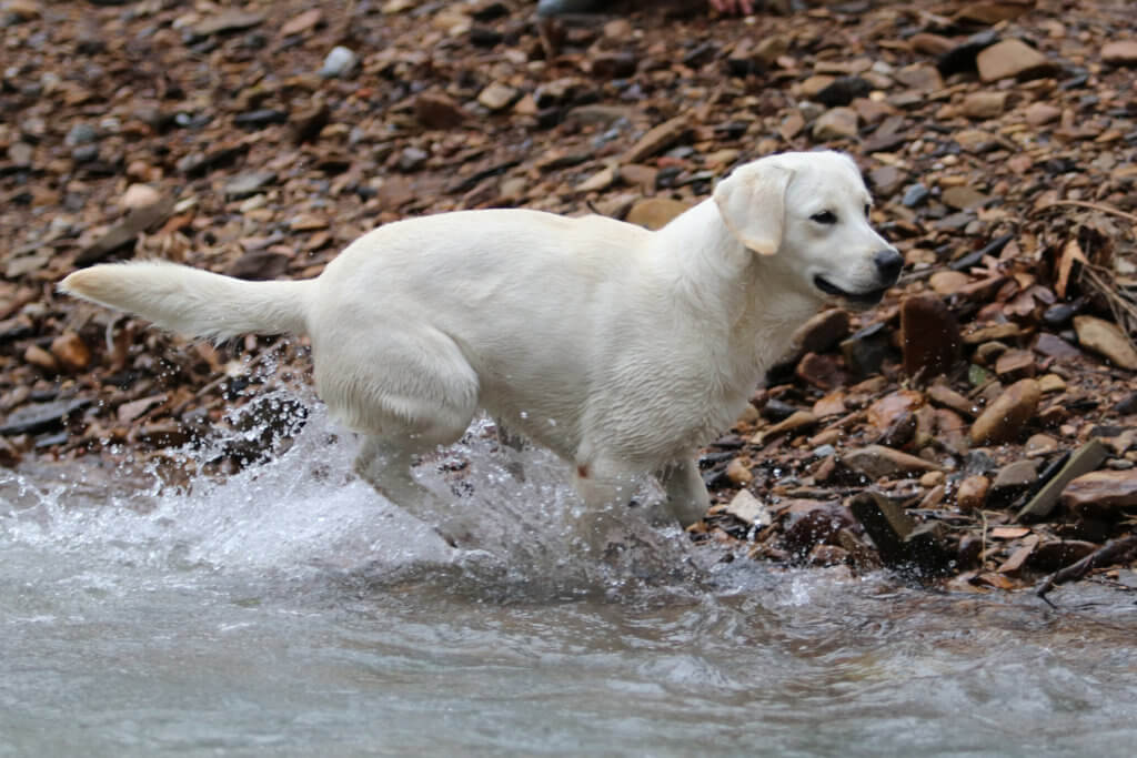 English Labrador playing in the water